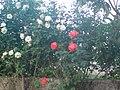 Rosebush - panoramio (3710).jpg