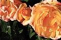 Roses Fens2 Oct2009.jpg