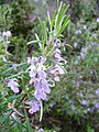 Rosmarinus officinalis re.jpg