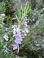 Rosmarinus officinalis re.jpg