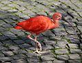 Roter Sichler Eudocimus ruber Tierpark Hellabrunn-1.jpg