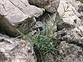 Rubia angustifolia ssp angustifolia.jpg