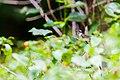Ruby-throated hummingbird (19337541730).jpg