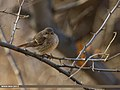 Rufous-backed Redstart (Phoenicurus erythronotus) (34005344765).jpg