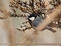 Rufous-naped Tit (Periparus rufonuchalis) (33480188943).jpg