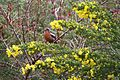 Rufous-tailed Plantcutter (4302394067).jpg
