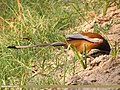 Rufous Treepie (Dendrocitta vagabunda) (15708313799).jpg