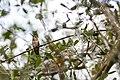 Rufous hummingbird (32433041144).jpg