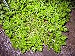 Ruhland, Grenzstr. 3, Mutterkraut (Tanacetum parthenium), mehrjährige Pflanze, Blätter, Frühling, 01.jpg