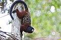 Saddle-back tamarin (Saguinus fuscicollis).jpg
