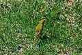 Saffron Finch 2015-06-02 (10) (26436421308).jpg