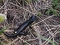 Salamandra atra ssp. prenjensis leg P. Cikovac Mt Orjen Montenegro.jpg