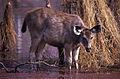 Sambar (Rusa unicolor) doe (20159605210).jpg