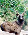 Sambhar Deer by N A Nazeer.jpg