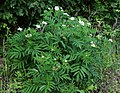 Sambucus ebulus 2.jpg