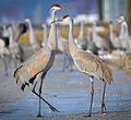 Sandhill Cranes (Grus canadensis) (16757875775) (cropped).jpg