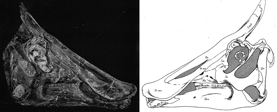 Holotype skull of S. osborni