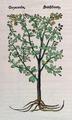 Sauseboom 740 Dodoens 1554.png