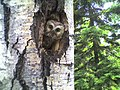 Saw Whet Owl (5062207981).jpg