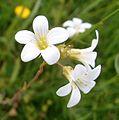 Saxifraga granulata 01.jpg