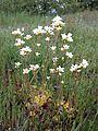 Saxifraga granulata sl20.jpg