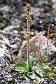 Saxifraga hieracifolia IMG 4305 stivsildre endalen.JPG