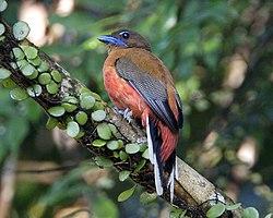 Scarlet-rumped Trogon (Harpactes duvaucelii) - Flickr - Lip Kee (2).jpg