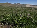 Scented shooting star, Dodecatheon redolens (25179873965).jpg