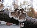 Schizophyllum commune fotografija iz Niša1.jpg