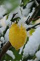 Schnee Zitrone Citrus × limon 1.JPG