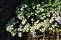Scleranthus perennis plant (03).jpg