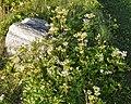Scots Lovage (Ligusticum scoticum) - Bay Roberts, Newfoundland 2019-08-12 (02).jpg