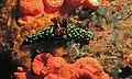 Sea Slug (Nembrotha kubaryana) (6064930599).jpg