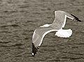 Seagull (4487572852).jpg