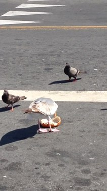 File:Seagull and pigeons eating bread.webm