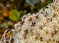 Seeds and fuzz (12167895135).jpg