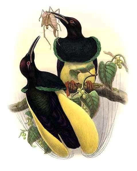 Seleucidis melanoleuca by Bowdler Sharpe