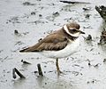 Semipalmated Plover (15820833824).jpg