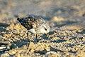 Semipalmated Sandpiper - Texas - USA H8O1027 (15817369026).jpg