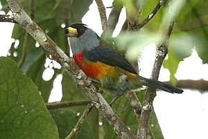 Semnornis - Toucan barbet (Semnornis ramphastinus)