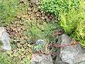 Sempervivum tectorum - Botanischer Garten, Frankfurt am Main - DSC02632.JPG