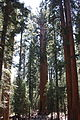 Sequoia National Park, Giant Forest, General Sherman Tree (7889942518).jpg