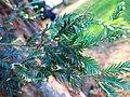 Sequoia sempervirens (Rentilly) foliage.jpg