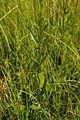 Serratula tinctortia ssp. tinctoria PID1986-2.jpg