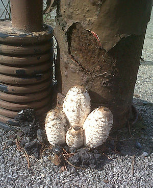 Turgor pressure - Shaggy Ink Caps Bursting through Asphalt due to High Turgor Pressures
