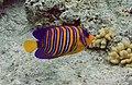 Sharm El Shiekh Empress Angel fish.jpg
