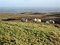 Sheep - geograph.org.uk - 327026.jpg
