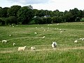 Sheep near Pontrobert - geograph.org.uk - 559107.jpg