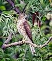Shikra in Okhla Bird Sanctuary, Delhi (77094227).jpg