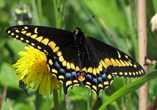 <i>Papilio brevicauda</i> species of insect